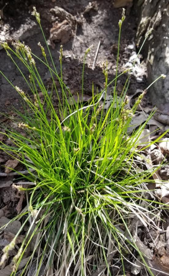 native grass white-tinged sedge