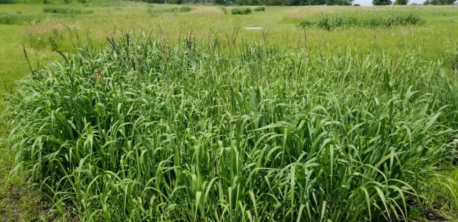 native grass prairie cordgrass