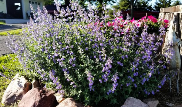 Nepeta – June Plant of the Month