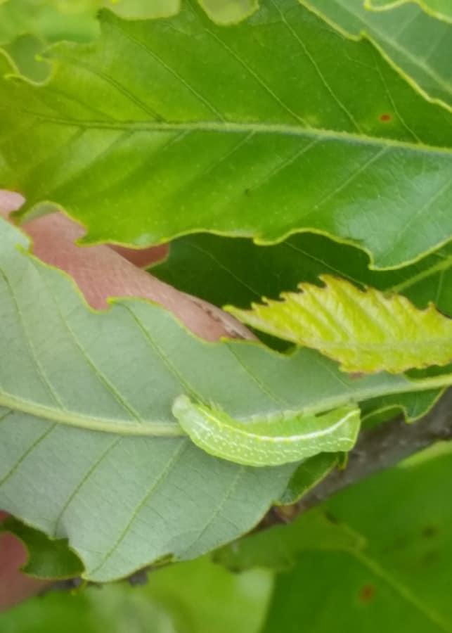 caterpillar on chinkapin oak