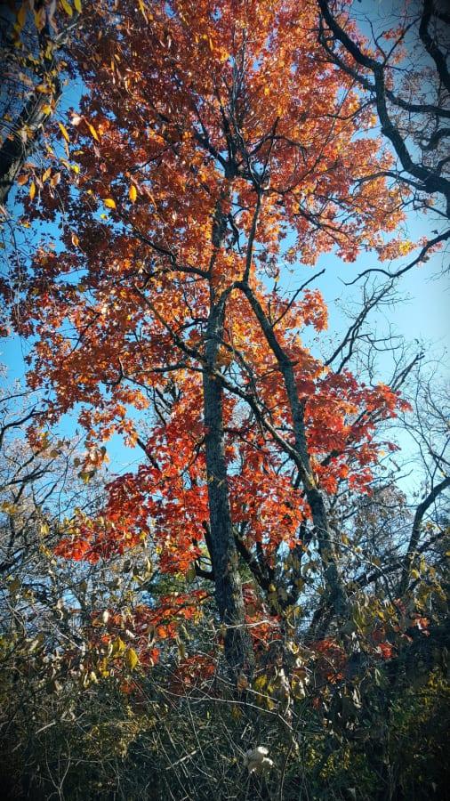 black oak fall color