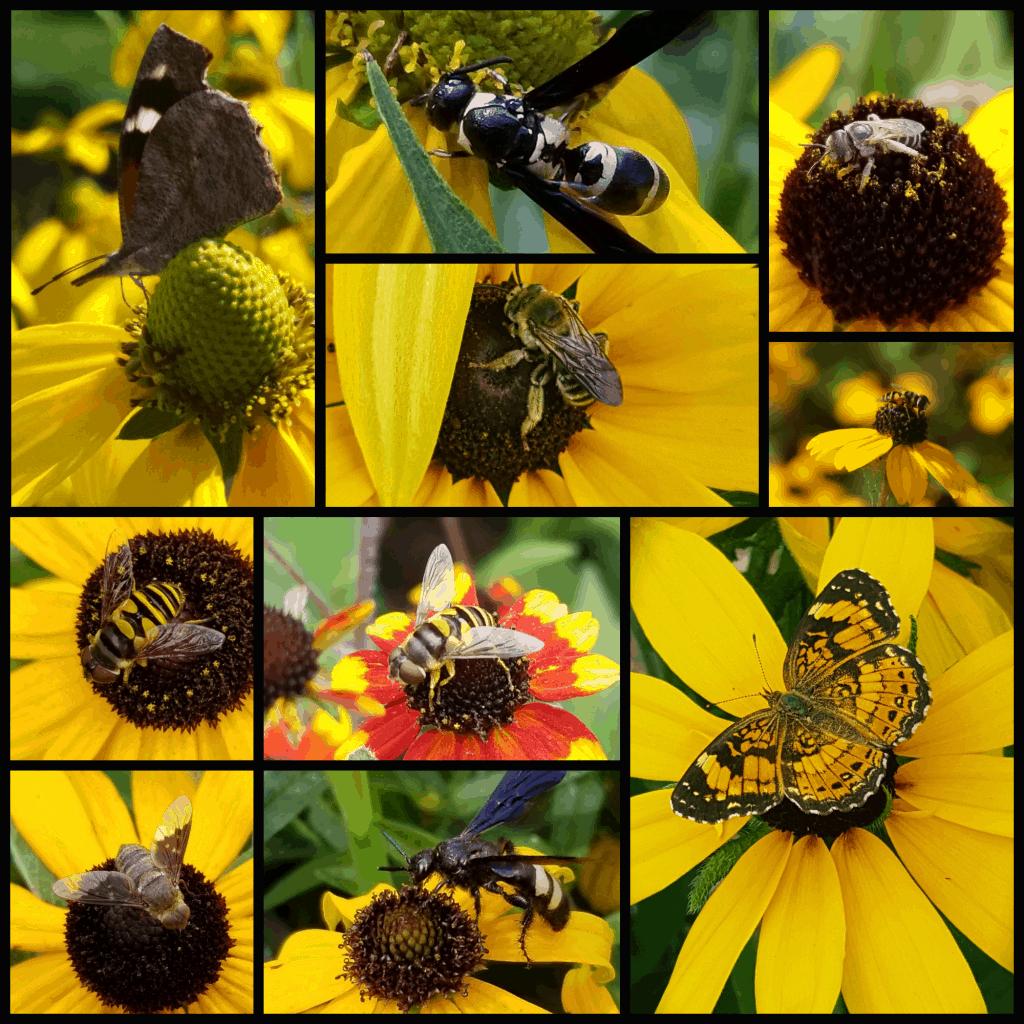 pollinators of rudbeckia