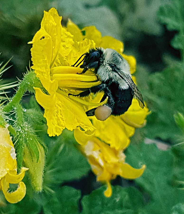 Bumblebee pollinating a native flower