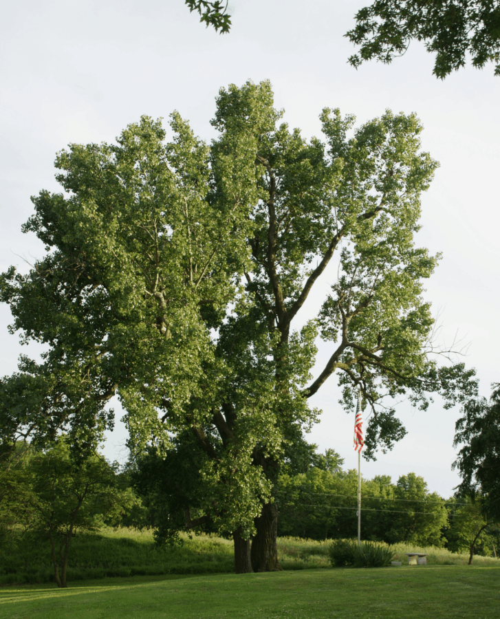Eastern cottonwood is a host species for pollinators