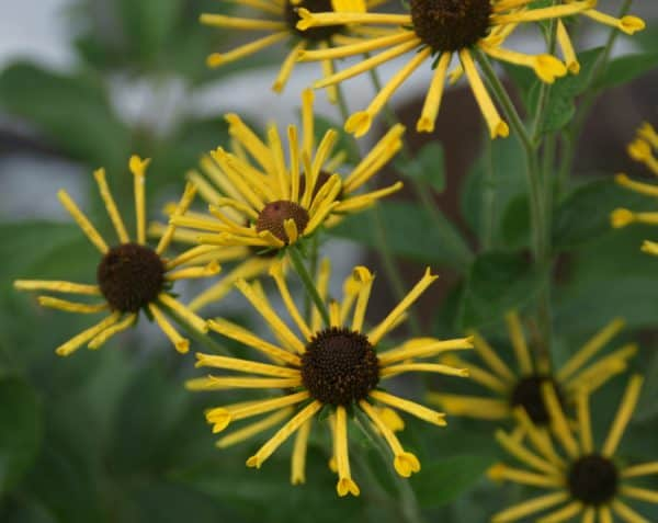 Rudbeckia – August Plant of the Month