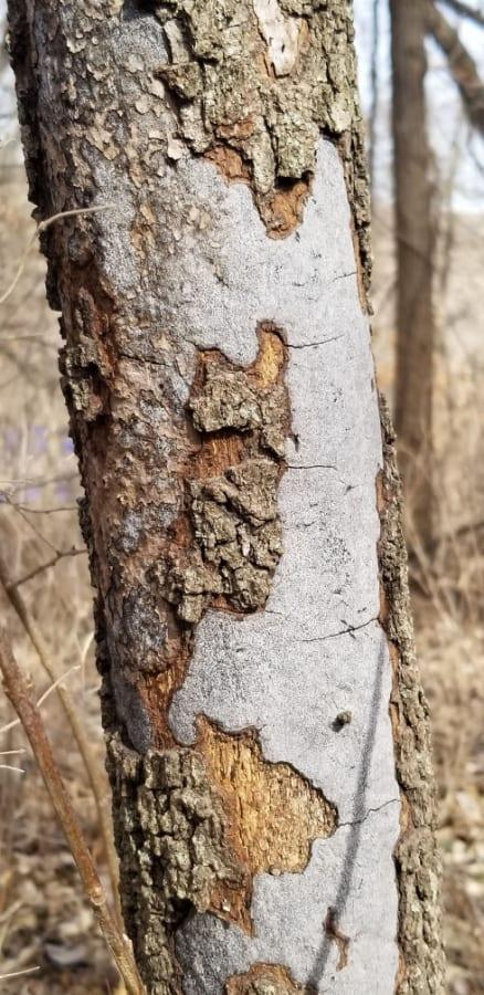 Hypoxylon canker of oak