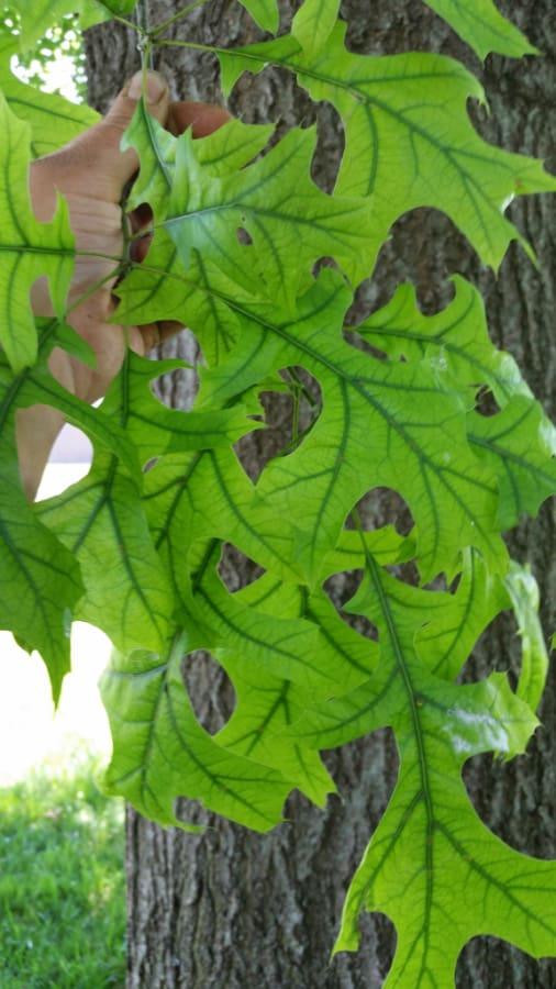 iron chlorosis on oak