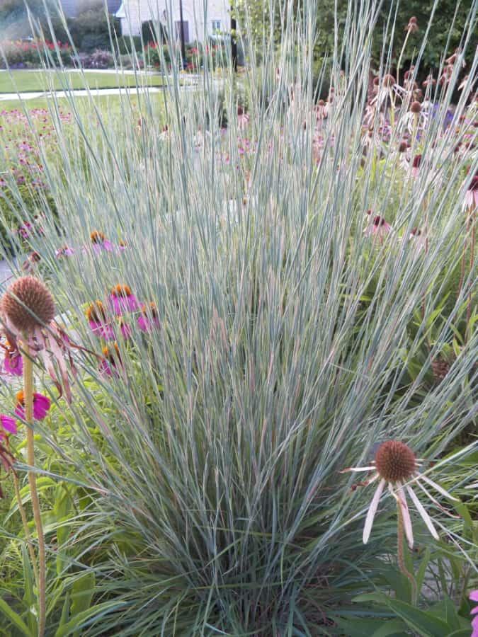 native grass little bluestem