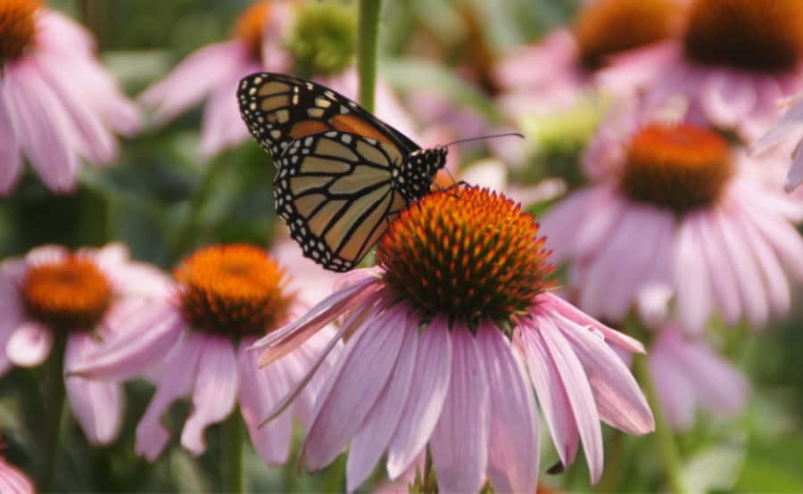 Monarchs are great pollinators