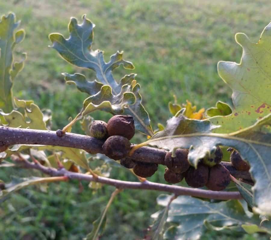rough oak bullet gall