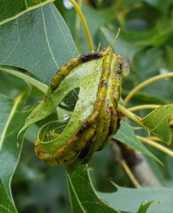 oak vein pocket gall