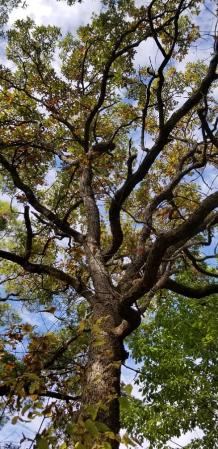 large post oak