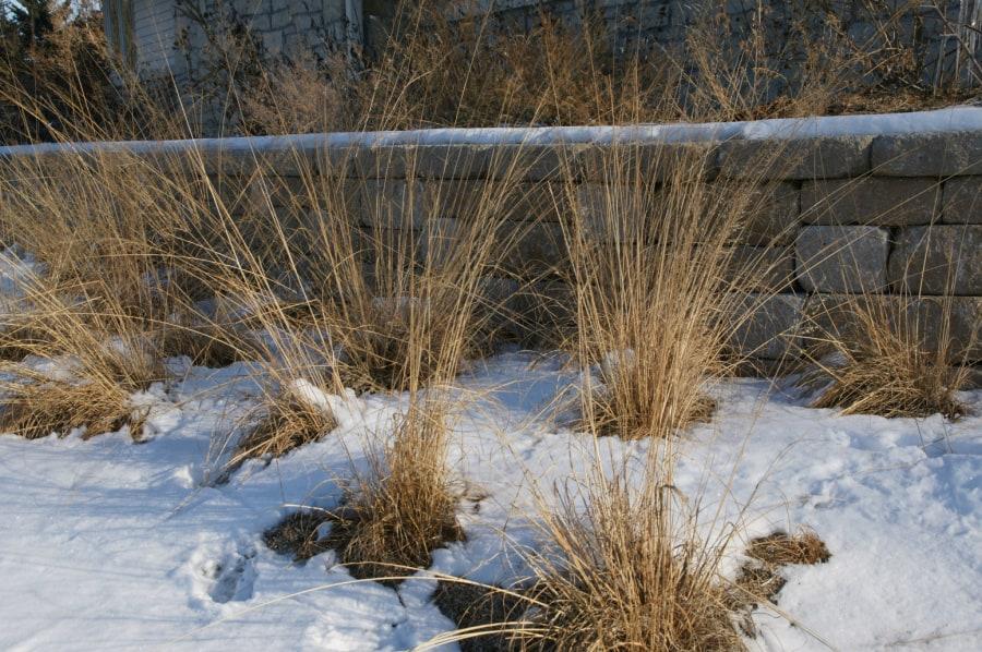 native grass prairie dropseed in winter