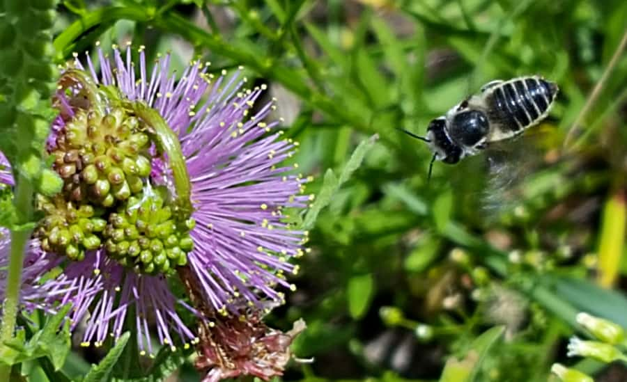 leafcutter bee pollinating