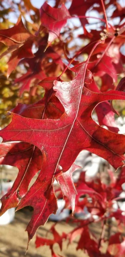 Scarlet oak 'KC Infraray Red'