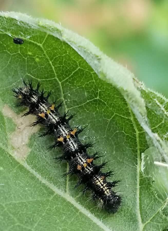 silvery checkerspot caterpillar