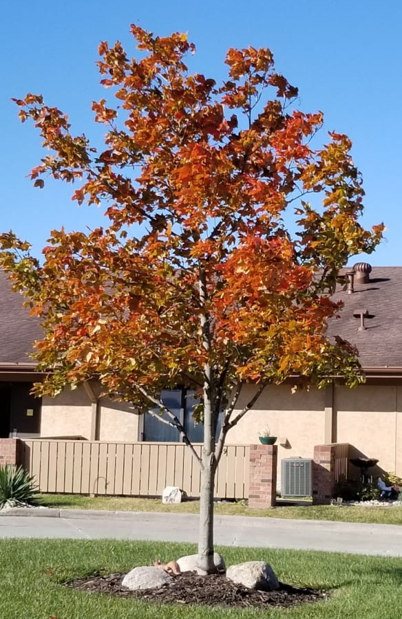 maple tree 'Oregon Trail'