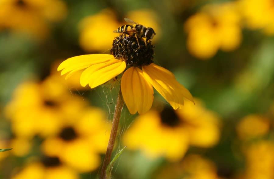 a hover fly pollinating a rudbeckia