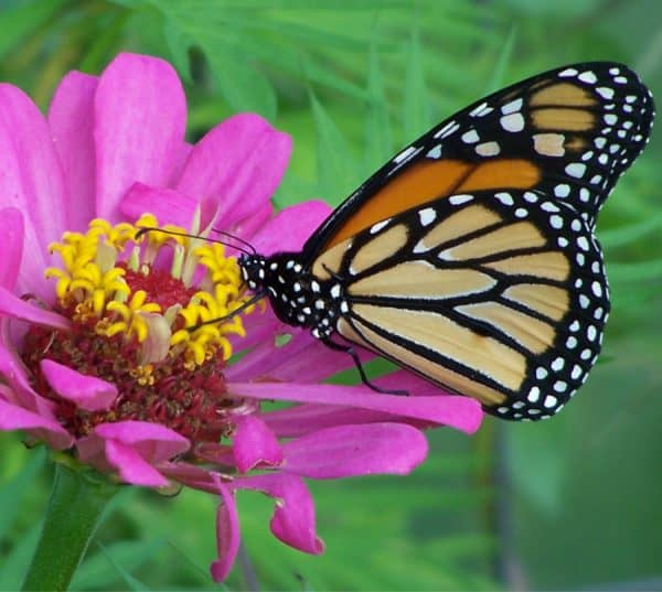 Top 4 Annual Flowers for Pollinators