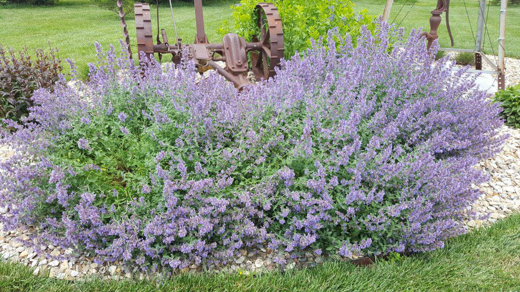 catmint walkers low with purple flower