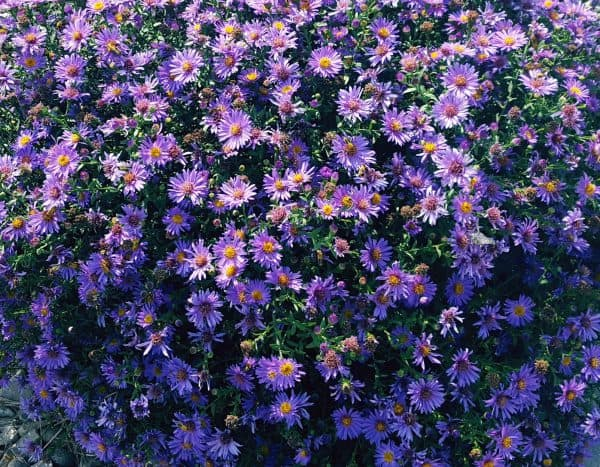 Aster – October Plant of the Month