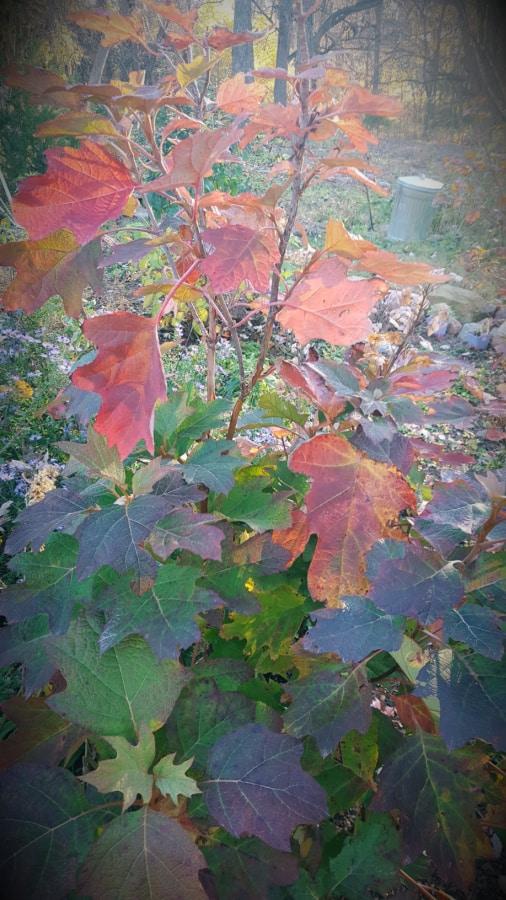 oakleaf hydrangea fall color