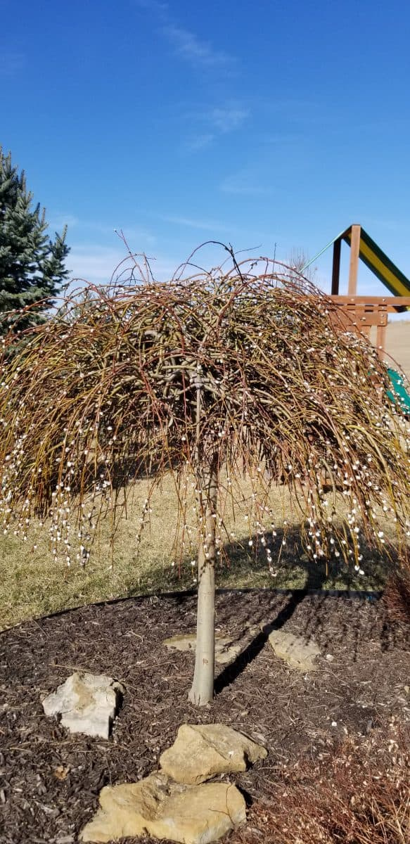 small trees - weeping pussy willow