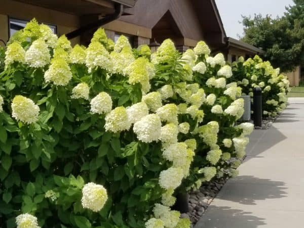 Hydrangeas – What You Need to Know for Success