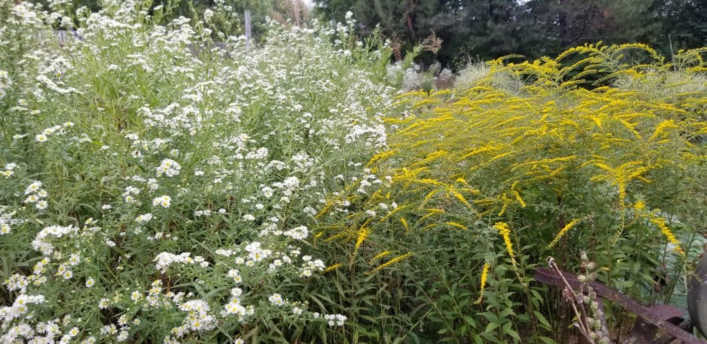 asters and goldenrod
