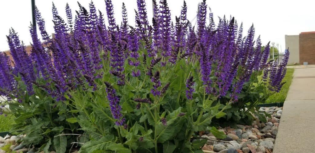 salvia may nigh has purple flowers