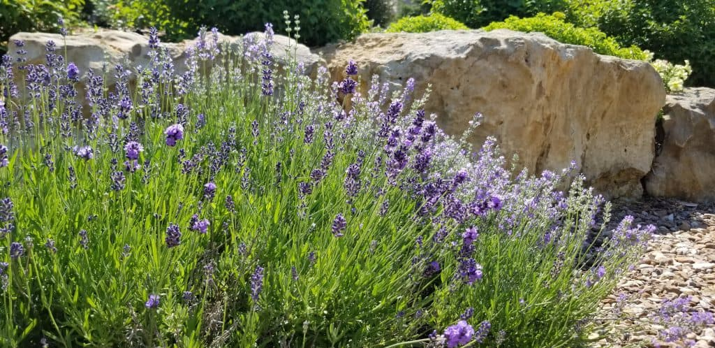 lavender with purple flowers
