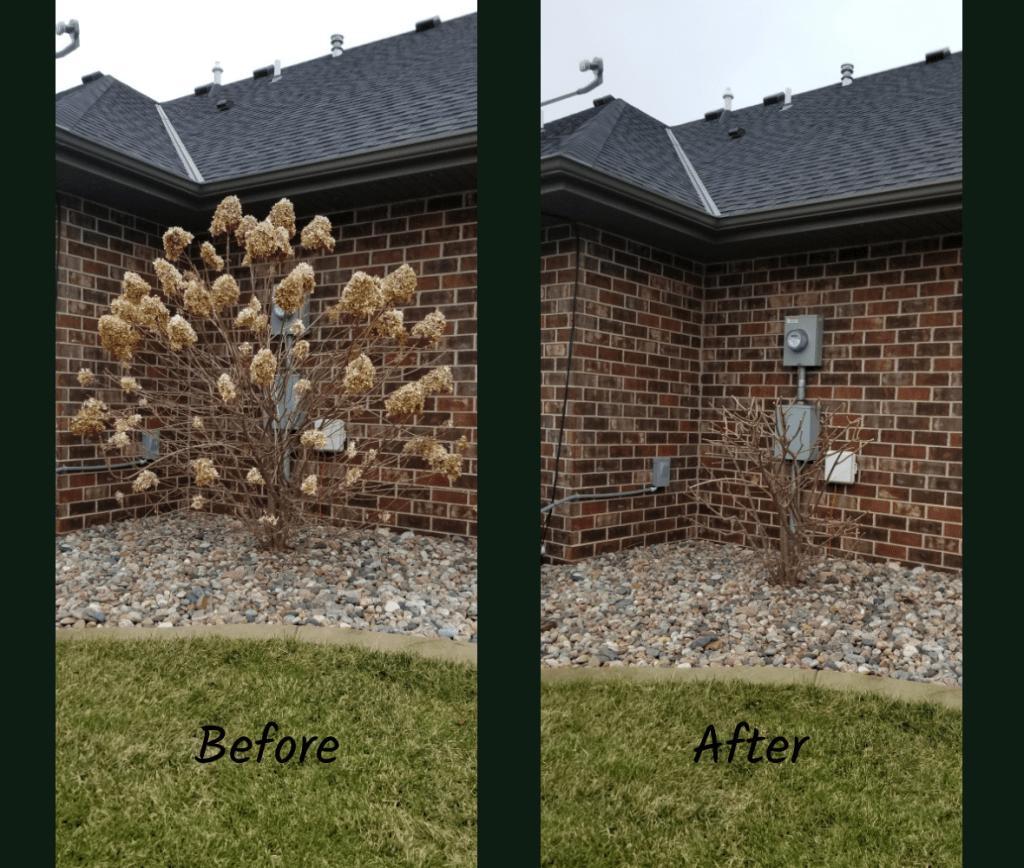 pruning panicle hydrangeas