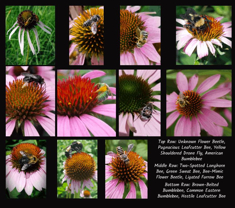 pollinators of coneflowers