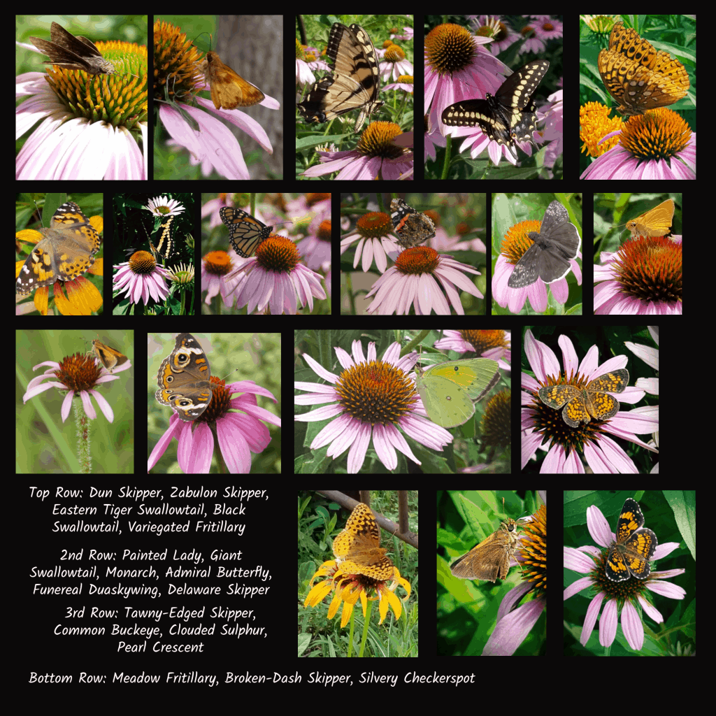 butterfly pollinators of coneflowers