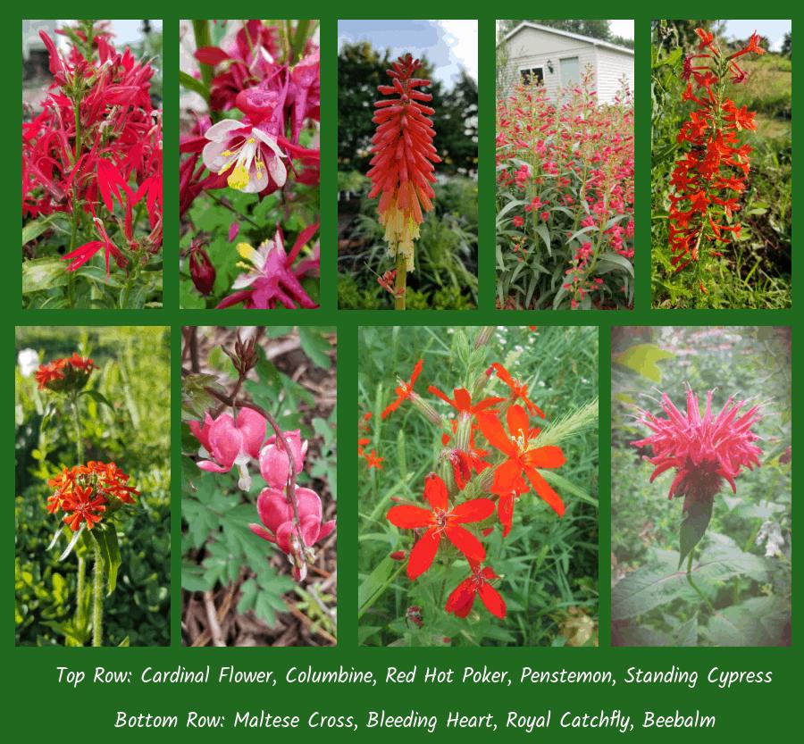 perennials to attract hummingbirds