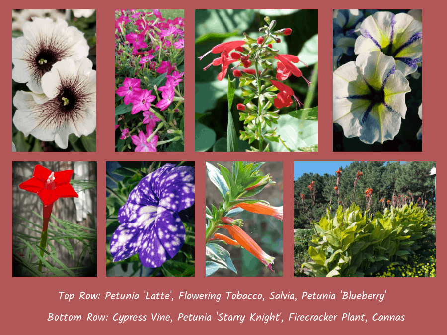 annual flowers for hummingbirds