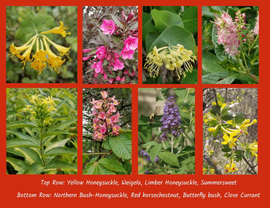 Flowering shrubs to attract hummingbirds