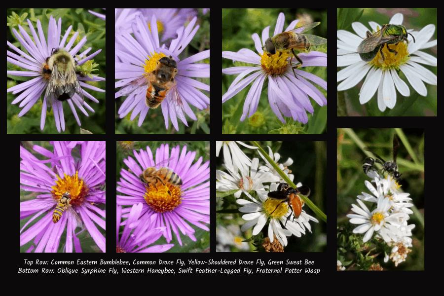 pollinators of aster
