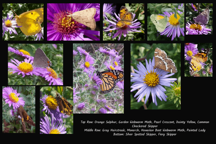 butterfly and moth pollinators of asters