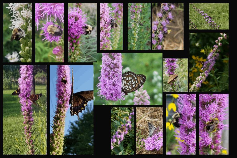 pollinators of blazingstars