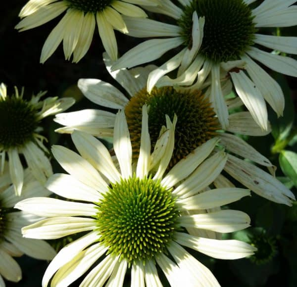 Coneflowers for the Garden