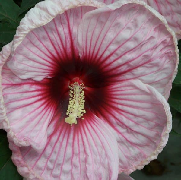 Mallows in the Garden – Tropical Additions