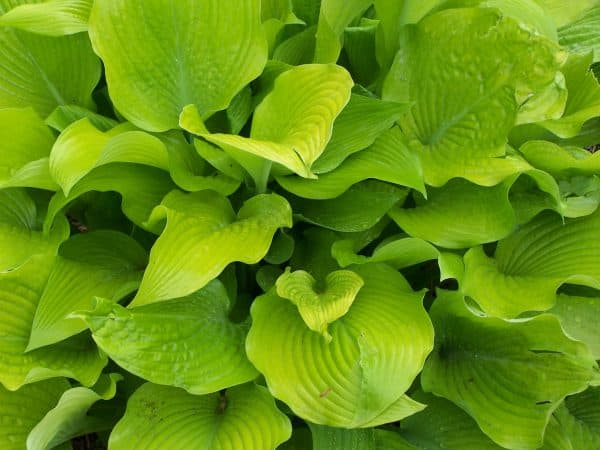 Hostas – Growing for Success in Shade