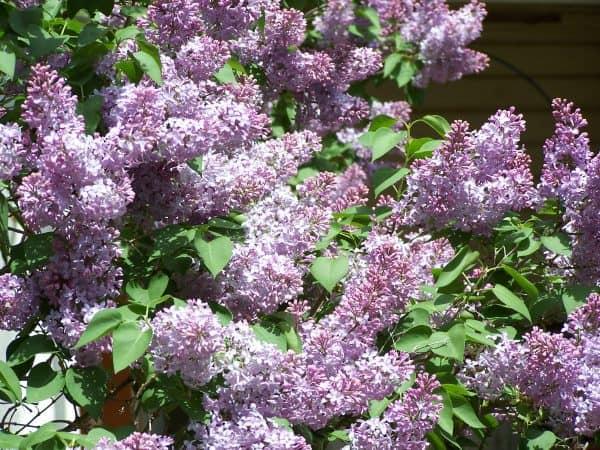 Lilacs – Fragrant Flowers in the Garden