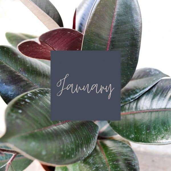 Rubber tree with January written in the middle and a link to January plant care
