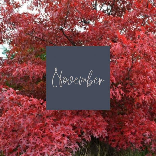 Deep red maple leaves with November written in the middle and a link to November plant care