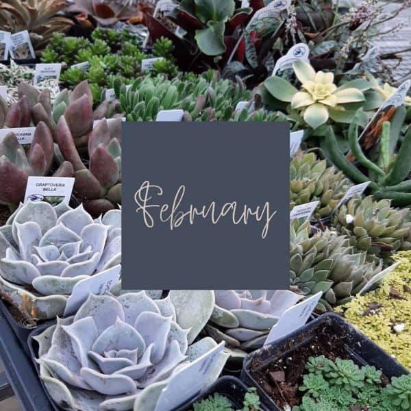 Multicolored succulents in a tray with February written in it and a link to February plant care