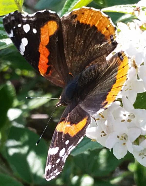 Meet the Pollinators : Spring Flying Butterflies