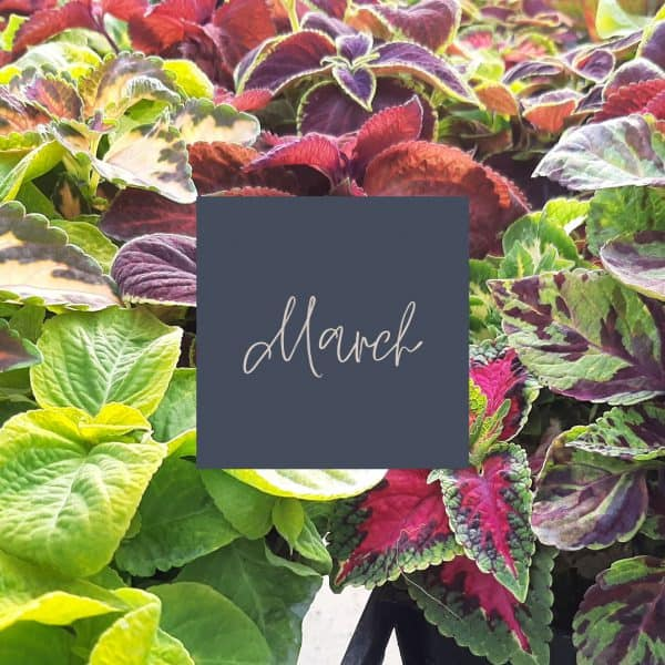 Red and green colored coleus plants with March written in the middle and a link to March plant care