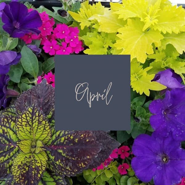 pink, purple and green plants in a planter with April written in the middle and a link to April plant care